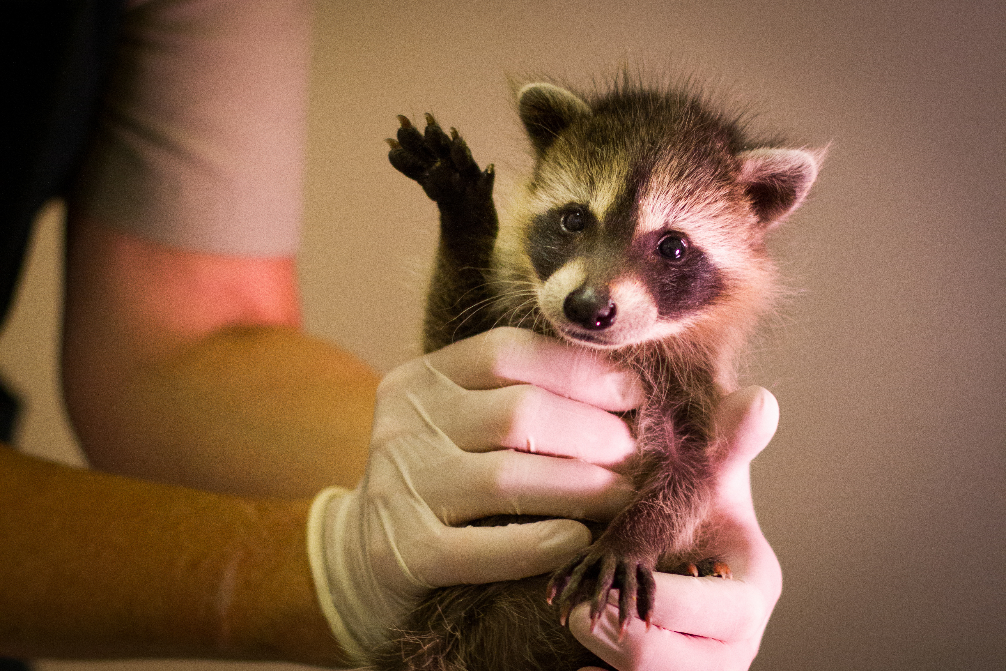 Wildlife Rescue raccon